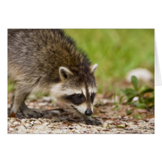 The raccoon, Procyon lotor, is a widespread, 4 Card