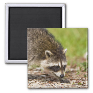 The raccoon Procyon lotor is a widespread 4 Fridge Magnets