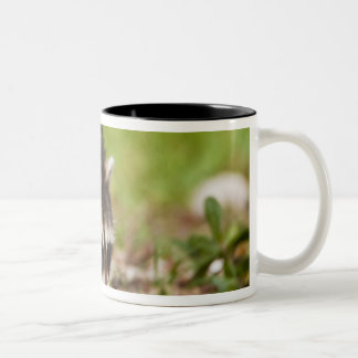 The raccoon, Procyon lotor, is a widespread, 4 Coffee Mugs
