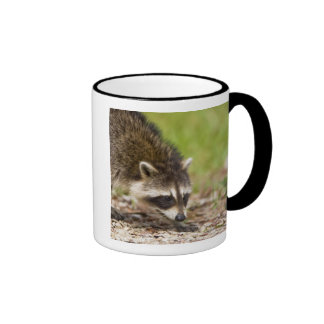 The raccoon, Procyon lotor, is a widespread, 4 Coffee Mug