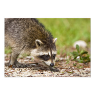 The raccoon, Procyon lotor, is a widespread, 4 Photo Art