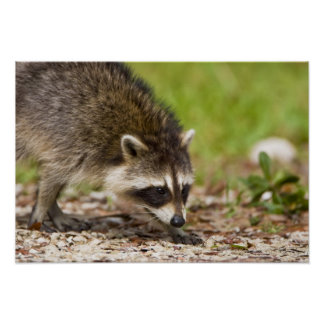 The raccoon, Procyon lotor, is a widespread, 4 Poster