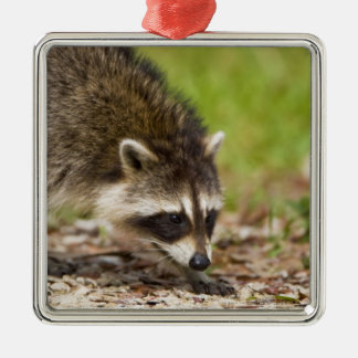 The raccoon, Procyon lotor, is a widespread, 4 Silver-Colored Square Decoration