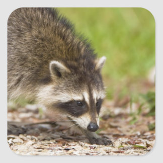 The raccoon, Procyon lotor, is a widespread, 4 Stickers