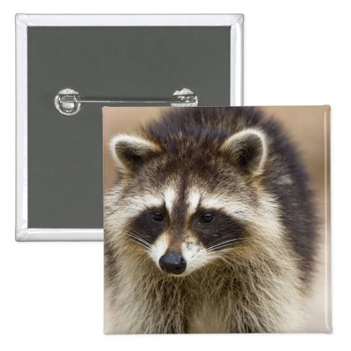 The raccoon, Procyon lotor, is a widespread, Pins