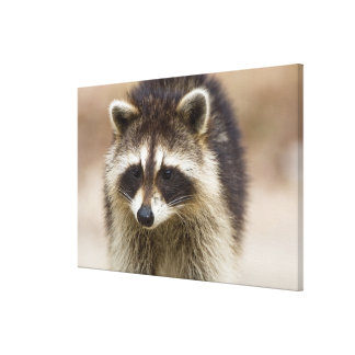 The raccoon, Procyon lotor, is a widespread, Canvas Print