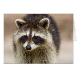 The raccoon, Procyon lotor, is a widespread, Card
