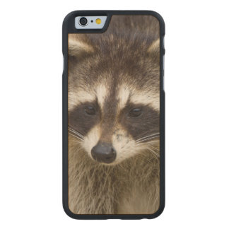 The raccoon, Procyon lotor, is a widespread, Carved® Maple iPhone 6 Case