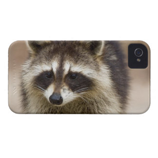 The raccoon, Procyon lotor, is a widespread, iPhone 4 Case
