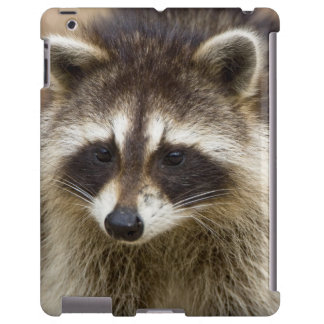 The raccoon, Procyon lotor, is a widespread,