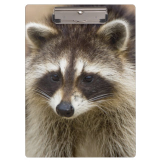 The raccoon, Procyon lotor, is a widespread, Clipboard