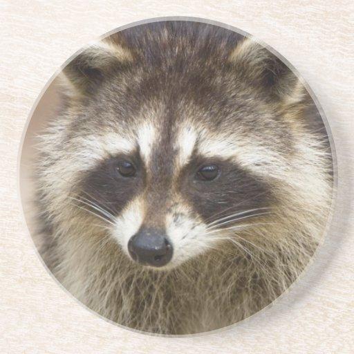 The raccoon, Procyon lotor, is a widespread, Beverage Coasters