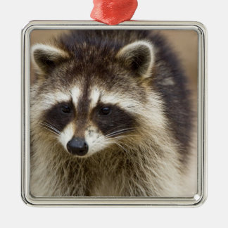 The raccoon, Procyon lotor, is a widespread, Christmas Tree Ornament