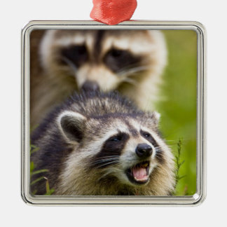 The raccoon, Procyon lotor, is a widespread, Christmas Ornaments