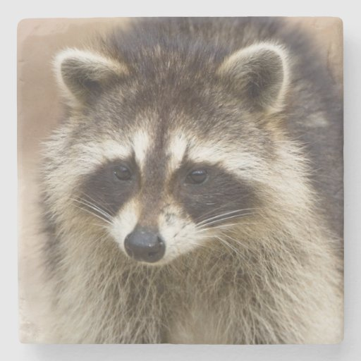 The raccoon, Procyon lotor, is a widespread, Stone Beverage Coaster