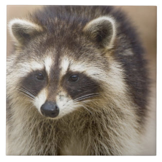 The raccoon, Procyon lotor, is a widespread, Large Square Tile