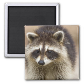 The raccoon, Procyon lotor, is a widespread, Fridge Magnet