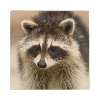 The raccoon, Procyon lotor, is a widespread, Maple Wood Coaster