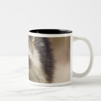 The raccoon, Procyon lotor, is a widespread, Mugs