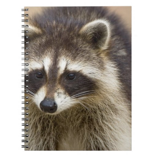 The raccoon, Procyon lotor, is a widespread, Spiral Notebook