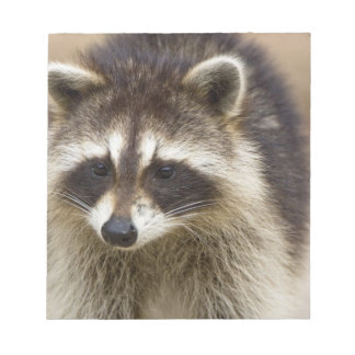 The raccoon, Procyon lotor, is a widespread, Memo Notepads