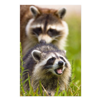 The raccoon, Procyon lotor, is a widespread, Photo Art