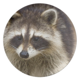 The raccoon, Procyon lotor, is a widespread, Plate