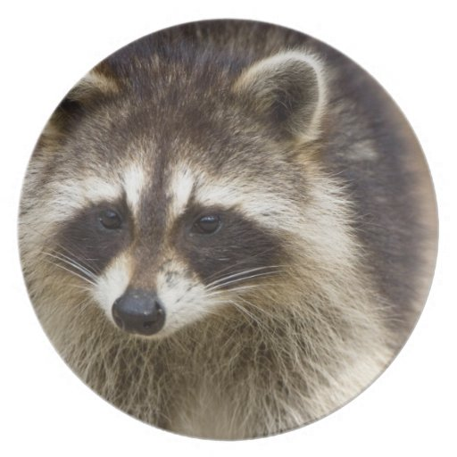 The raccoon, Procyon lotor, is a widespread, Dinner Plates