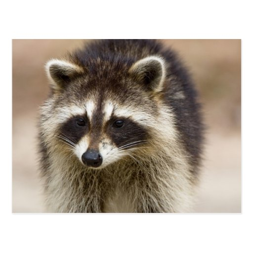 The raccoon, Procyon lotor, is a widespread, Post Cards