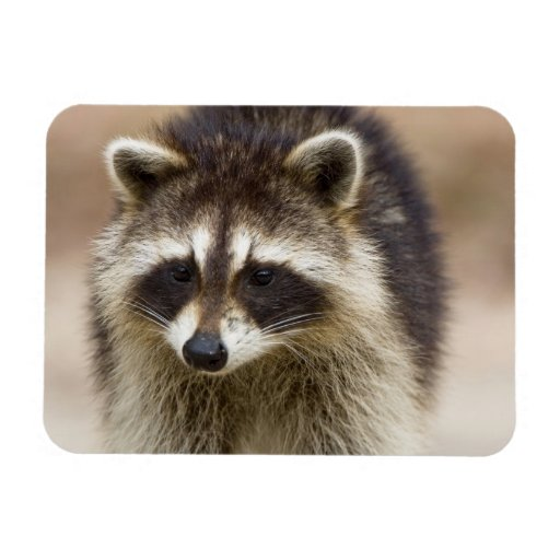 The raccoon, Procyon lotor, is a widespread, Flexible Magnet