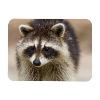 The raccoon, Procyon lotor, is a widespread, Rectangular Photo Magnet