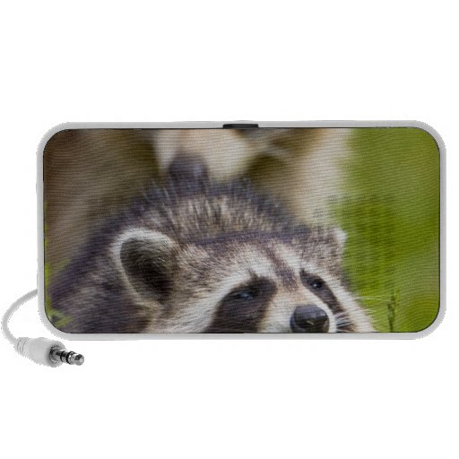 The raccoon, Procyon lotor, is a widespread, Travelling Speakers