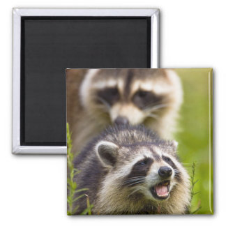 The raccoon, Procyon lotor, is a widespread, Square Magnet