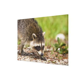 The raccoon, Procyon lotor, is a widespread, Stretched Canvas Print