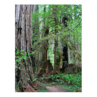 The Redwoods - Sequoia Postcard