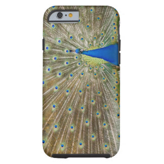 The resident male peacock fans his feathers in tough iPhone 6 case