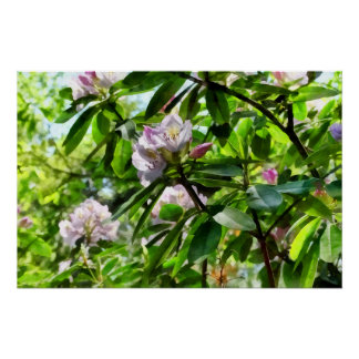 .The Rhododendrons Are In Bloom Poster