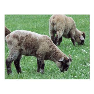 The Sheep of Mount Vernon... Postcard