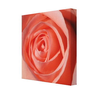The Soft Spiral of a Rose Canvas Print