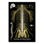 The Spine and Spinal Nerves Chiropractic