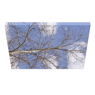 The Stately Indiana Sycamore Canvas Print