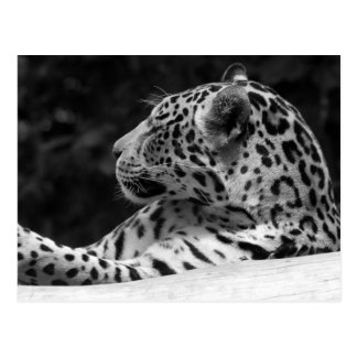 """The Waking Leopard"" Postcard"