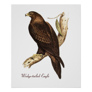 The Wedge Tailed Eagle. A Magnificent Bird of Prey Poster