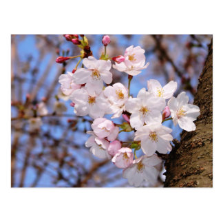 The work of the cherry tree bloom which is Kobe Postcard