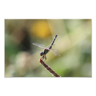 Thornbush Dasher Dragonfly, Awesome Lighting Photo Print