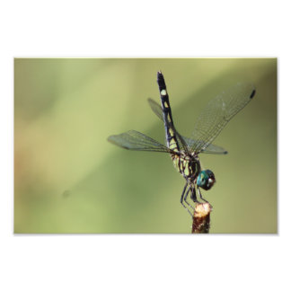 Thornbush Dasher Dragonfly, Glistening Eyes Photo Print