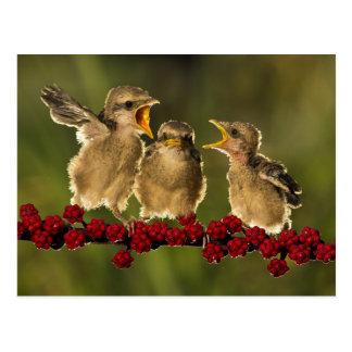 Three Baby Lanius Schach Birds Postcard