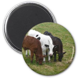 Three Cow Amigos 6 Cm Round Magnet