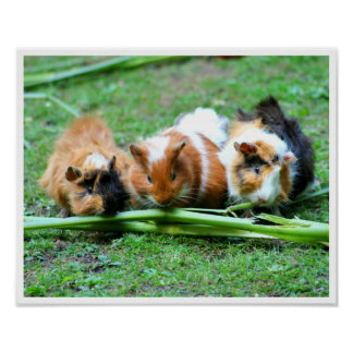 Three Cute Guinea Pigs in a Row Eating Celery Poster