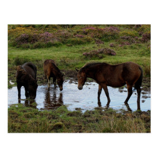 Three Dartmoor Ponies Drinking At Watering Hole Postcard